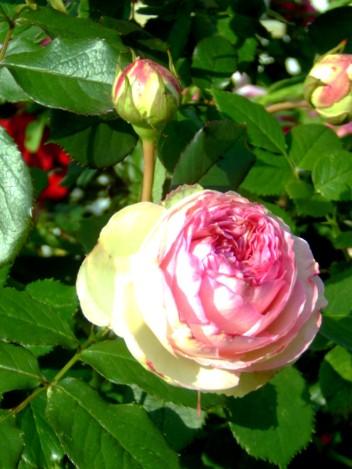 rosenbilder-105