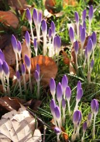 Morgens früh ist die Blüte noch geschlossen