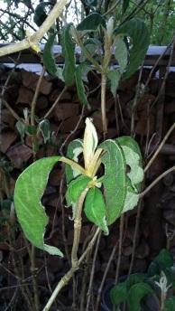 Hydrangea aspera, Samthortensie
