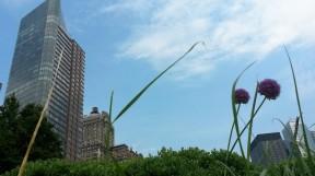 Auch zwischen Wolkenkratzern macht er sich gut: Allium Giganteum
