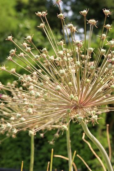 Verblüht, aber trotzdem schön: Allium Spider