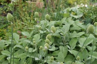 Allium sphaerocephalon vor der Blüte Anfang Juli