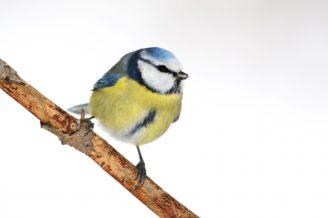 Blaumeise,Foto: Frank Derer für NABU