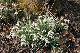 Schneeglöckchen (Galanthus nivalis)
