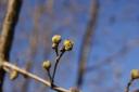 Blütenknospe der Kornelkirsche (Cornus mas)
