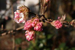 Blüte beim winterblühenden Schneeball (Viburnum bodnantense)