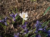 frühblühender weißer Krokus und Iris reticulata