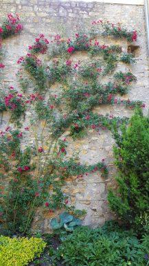 Kletterrose an der Burgmauer