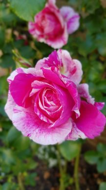 panaschierte Rosenblüte