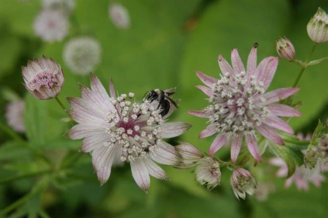 Bienen und Hummeln lieben die Sterndolde auch!
