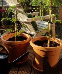 Die Tomaten haben einen Platz gefunden.