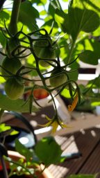 Erste Früchte bilden sich.