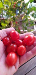 Tomaten gepflückt, auf geht´s.
