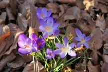 Die Elfenkrokusse gehören zu den ersten Blühern im Garten