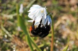 Eine gute Weide für Hummeln und Bienen: der kaukasische Blaustern