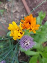 Schnittlauchblüte und Ringelblumegelbl