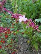 Rote Melde, Erdbeerspinat und weißes Schmuckkörbchen vertragen sich gut