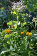 Ringelblume und Borretsch